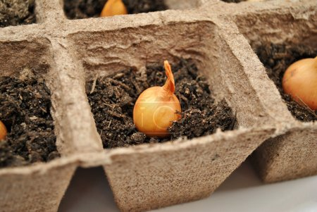 Yellow Onion in Peat Pot Close-Up