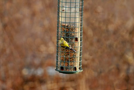 American Gold Finch Feeding in Early Spring