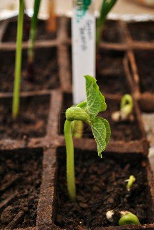 Photo pour Plantes de haricots verts qui poussent dans des pots - image libre de droit