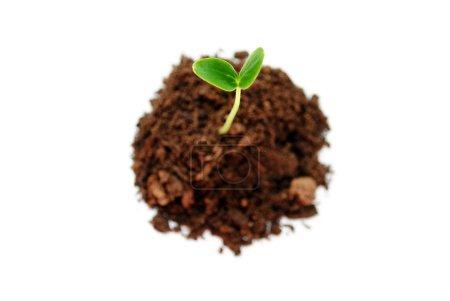 Photo pour Germe de concombre dans le sol isolé au-dessus du blanc - image libre de droit