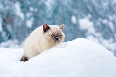 Photo pour Chat recouvert de flocons de neige, assis dans la neige profonde - image libre de droit