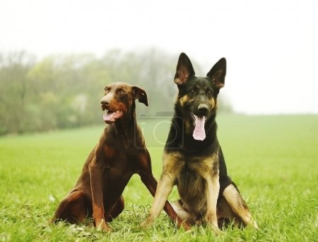 Two dog brown doberman pinscher and fun german she...
