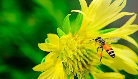 Photo pour Abeille charpentière en vol. Il est occupé, chassant les autres bugs dans son espace aérien. avec des fleurs jaune haute vitesse gèle plus souvent mouvement de ses ailes. Shallow dof contribue à donner un contexte jardin sans pour autant devenir gênant. - image libre de droit