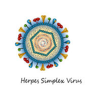 Herpes simplex virus particle structure
