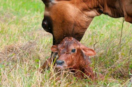 Newborn Jersey calf