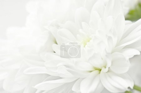 Photo for White chrysanthemum  flower - Royalty Free Image