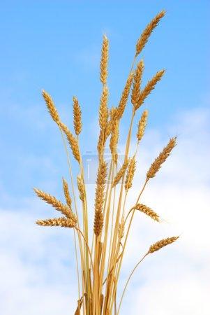 Wheat against sky