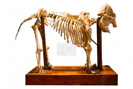 elephant bone