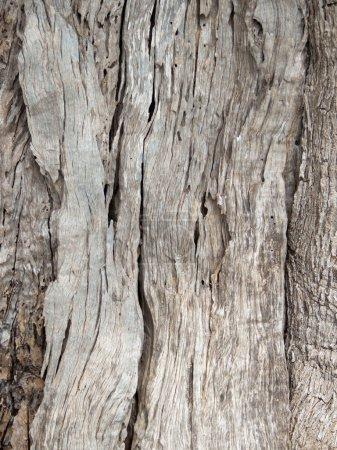 Olive tree bark Background