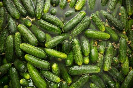 Gurtsov conservation. plenty of fresh cucumbers in...