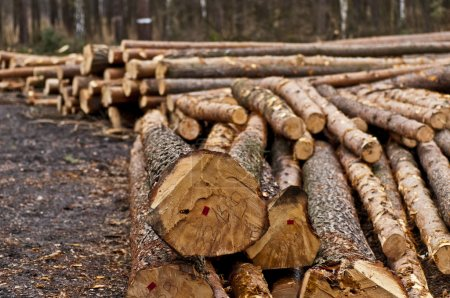 Felling of trees in forest near Gliwice...