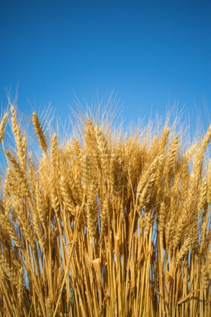 Photo for Golden wheat field with blue sky in background - Royalty Free Image