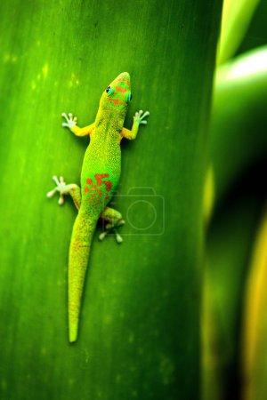 Gecko Reunion Island