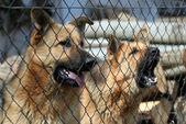 Cani che abbaiano