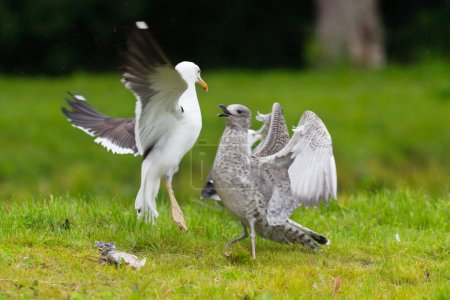 Two seagulls fighting over a fish