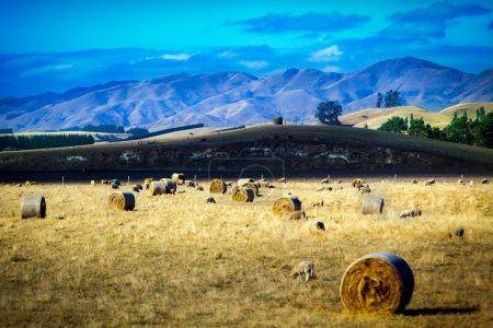 Sheep and hay bales on a meadow in New Zealand wit...
