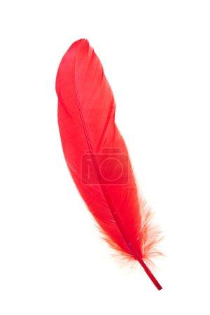 Photo pour Plume rouge isolée - image libre de droit
