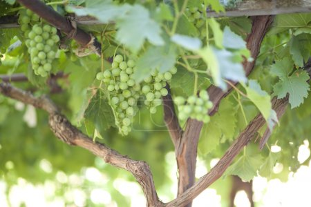 Ripe bunches of green grapes, shallow depth of field