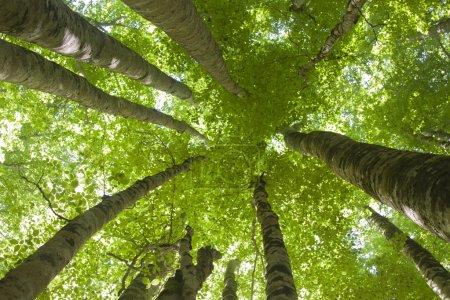 Photo pour Ensemble d'arbres vue de bas en haut - image libre de droit
