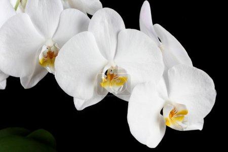 Photo pour Orchidée blanche sur fond noir - image libre de droit