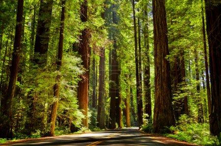 Photo pour C'était la meilleure route, que nous avons voyagé à travers les séquoias à ca.. - image libre de droit