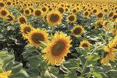Pole kvetoucí slunečnice v teplé jasný den