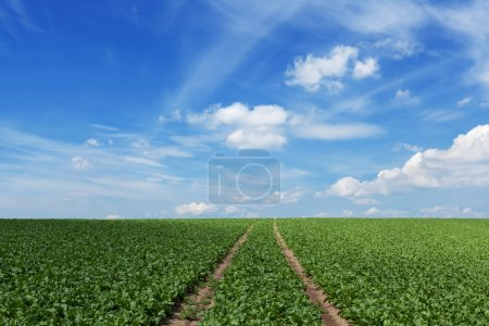Field with sugar beets