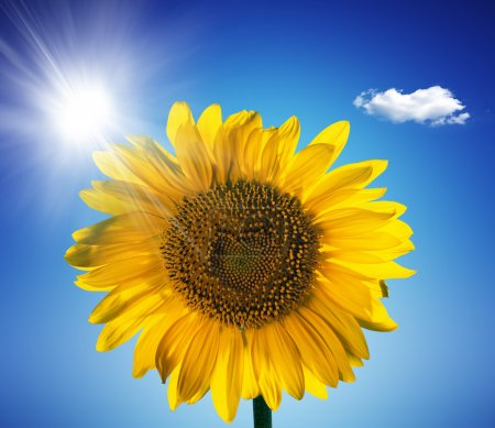 Beautiful sunflower with blue sky and sunburst