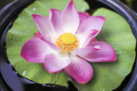 Water Lily Thailand