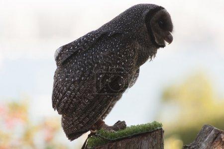Owl - Toronga Zoo