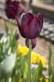Tulipán virág szépségét