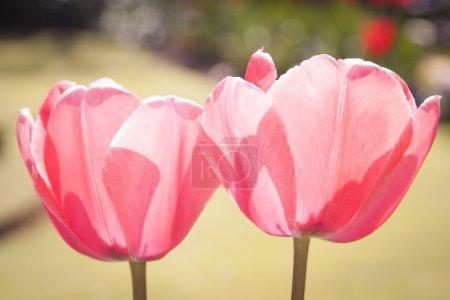 Beauty of Tulip Flowers