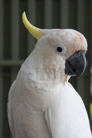 Cockatoo KAKATUA