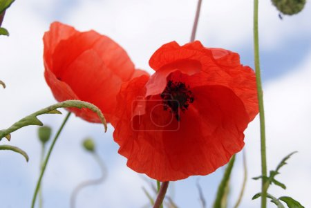 Photo for Poppy Close up - Royalty Free Image