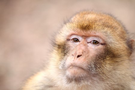 Macaca monkey foreground