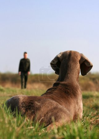 Photo for Weimaraner dog lying in the grass pays attention to the trainer - Royalty Free Image