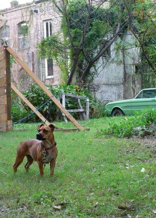 Photo pour Un chien alerte avec un bâtiment délabré en arrière-plan . - image libre de droit