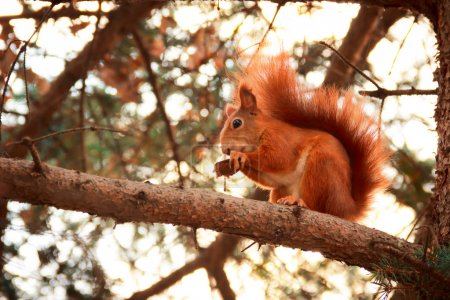Photo for Red squirrel on a pine tree branch - Royalty Free Image