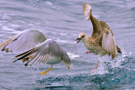 Flying seagull taking food