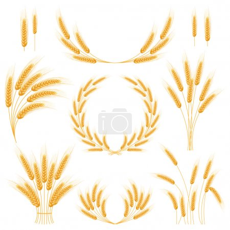 Ripe Ears wheat set. Isolated detailed template.