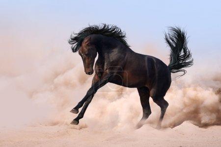 Photo pour Mignon dark horse, en cours d'exécution dans le sable du désert - image libre de droit
