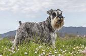Salt and pepper Schnauzer terrier