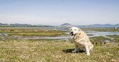 Golden retriever in a marsh.