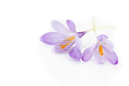 Photo pour Crocus de printemps (Crocus albiflorus) ) - image libre de droit