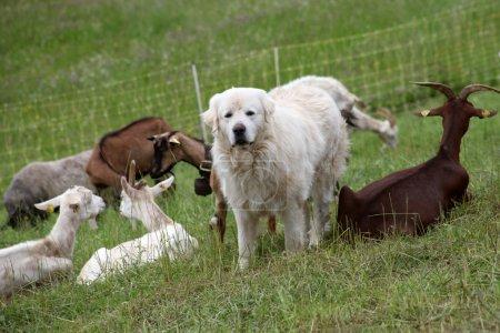 The white sheepdog