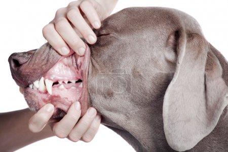 Inspecting dog teeth on white background.
