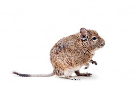 The Degu, Octodon degus, or Brush-Tailed Rat, isol...