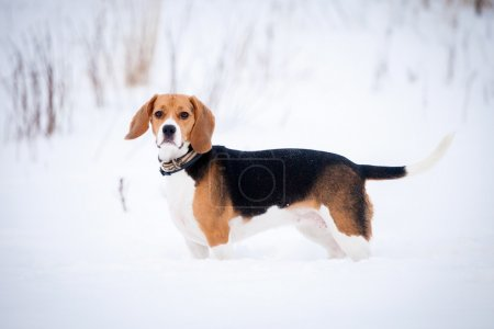 Smart beagle dog outdoor