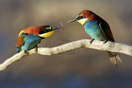 Photo for Male & Female European Bee-eater (Merops apiaster) perched on a branch. Male passes female an insect gift during courtship - Royalty Free Image