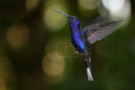 Violet Sabrewing Hummingbird (Campylopterus hemileucurus) at Monteverde Cloud Forest, Costa Rica.